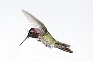 Anna's hummingbird, Calypte anna