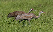 Sandhill Crane Pair Walking