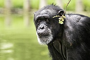 Chimpanzee Close Up