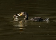 Cormorant Catching Fish