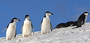 Chinstrap Penguins - Antarctica