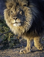 African male lion in the morning sun