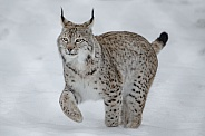 Lynx walk in the Snow