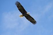Adult bald eagle against a blue sky
