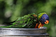 The rainbow lorikeet