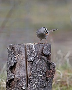 White-crowned Sparrow Looking Down from a Stump