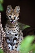Serval kitten showing his tongue