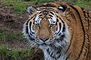 Amur/Siberian Tiger (Panthera Tigris Altaica)
