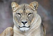 Barbary Lioness
