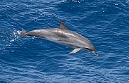 Atlantic Spotted Dolphin (wild)