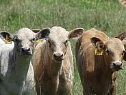 Three Calves