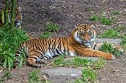 Sumatran Tiger - 1 Year Old Cub - Female
