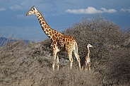 Giraffes, Mother and Calf
