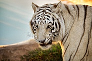 Tiger - White Tiger at Sunrise
