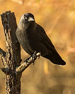 Jackdaw in Autumn Foliage