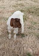 Goat. Capra aegagrus hircus