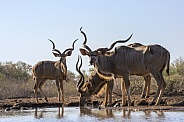 Kudu at waterhole