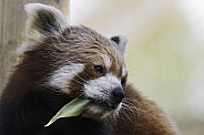 Red Panda Side Profile Looking Over Shoulder