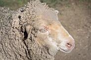 Very dirty merino sheep ewe