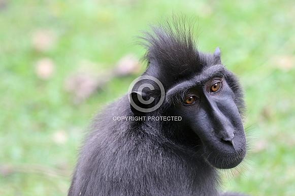 The Celebes crested macaque (Macaca nigra)