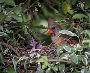 Cardinal Female with Chick
