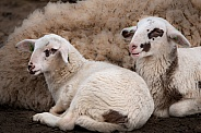 Lambs in the Netherlands