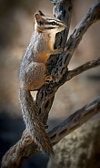 Cliff Chipmunk on Branch
