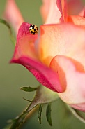 Transverse ladybird on rose.