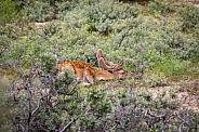 Deer sleeping in a heather field