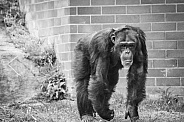 Chimpanzee in Monochrome
