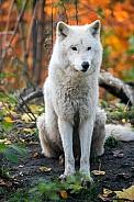 White wolf