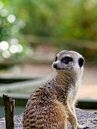 Meerkat looking back
