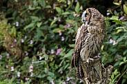 Hybrid Owl Species Looking Over Shoulder Full Body
