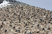 Colony of Imperial Shags - Antarctica