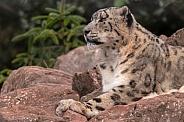 Snow Leopard Close Up Lying On Rocks