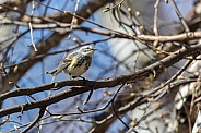 A Male Yellow-rumped Warbler