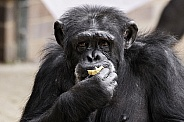 Chimpanzee Close Up Eating