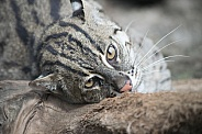 Fishing Cat