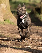 Staffordshire Bull Terrier Cross