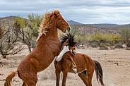 Salt River Wild Mustangs