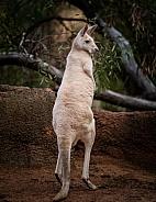 Albino Kangaroo 3