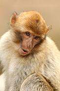 Barbary monkey portrait