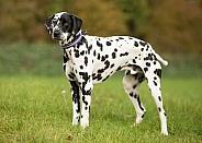 Standing Dalmatian