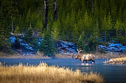 Bull Elk crossing Madison River, Yellowstone