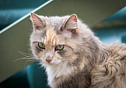 Diluted Tortoiseshell Cat