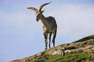Asiatic Mouflon - (Ovis orientalis)