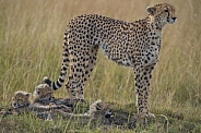 Cheetah mom with her cubs