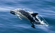 Short-beaked Common Dolphin (wild)