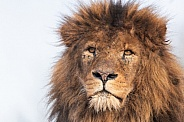 Male African Lion Close Up