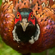 Common Pheasant (male)